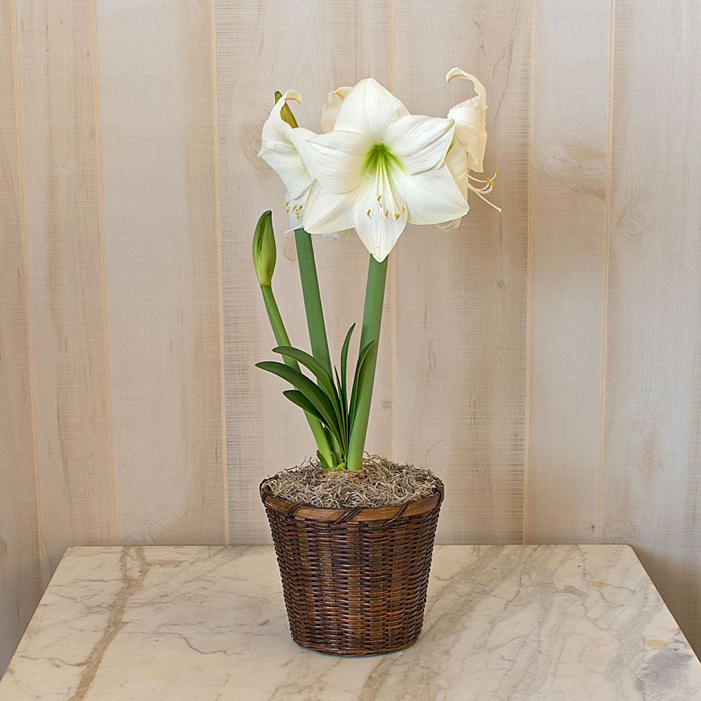 Amaryllis Wedding Dance®