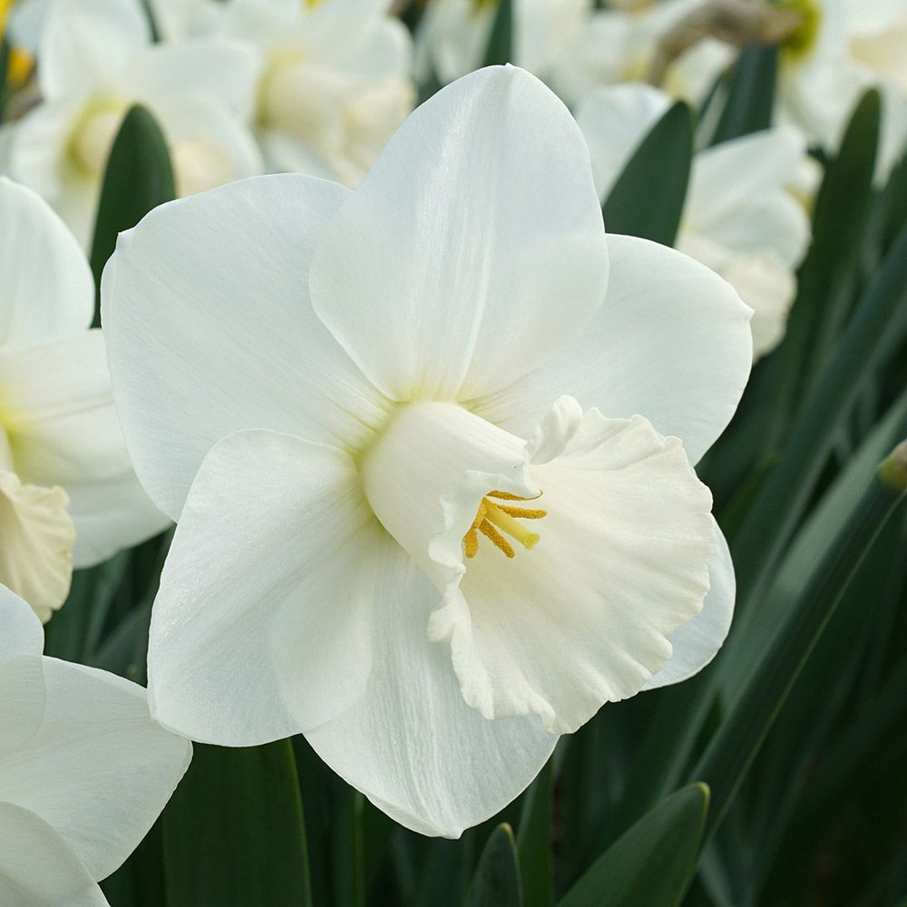 Narcissus 'La Delicatesse'