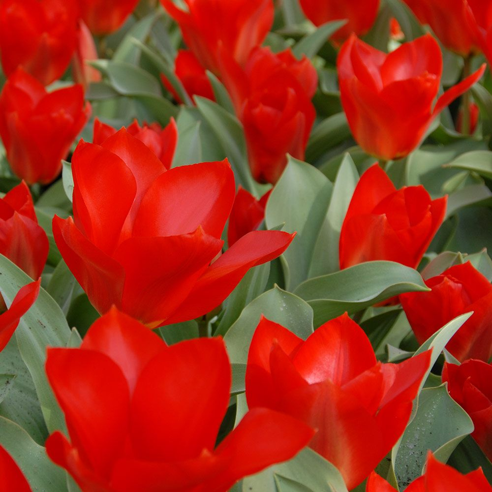 Tulip 'Princeps Red'