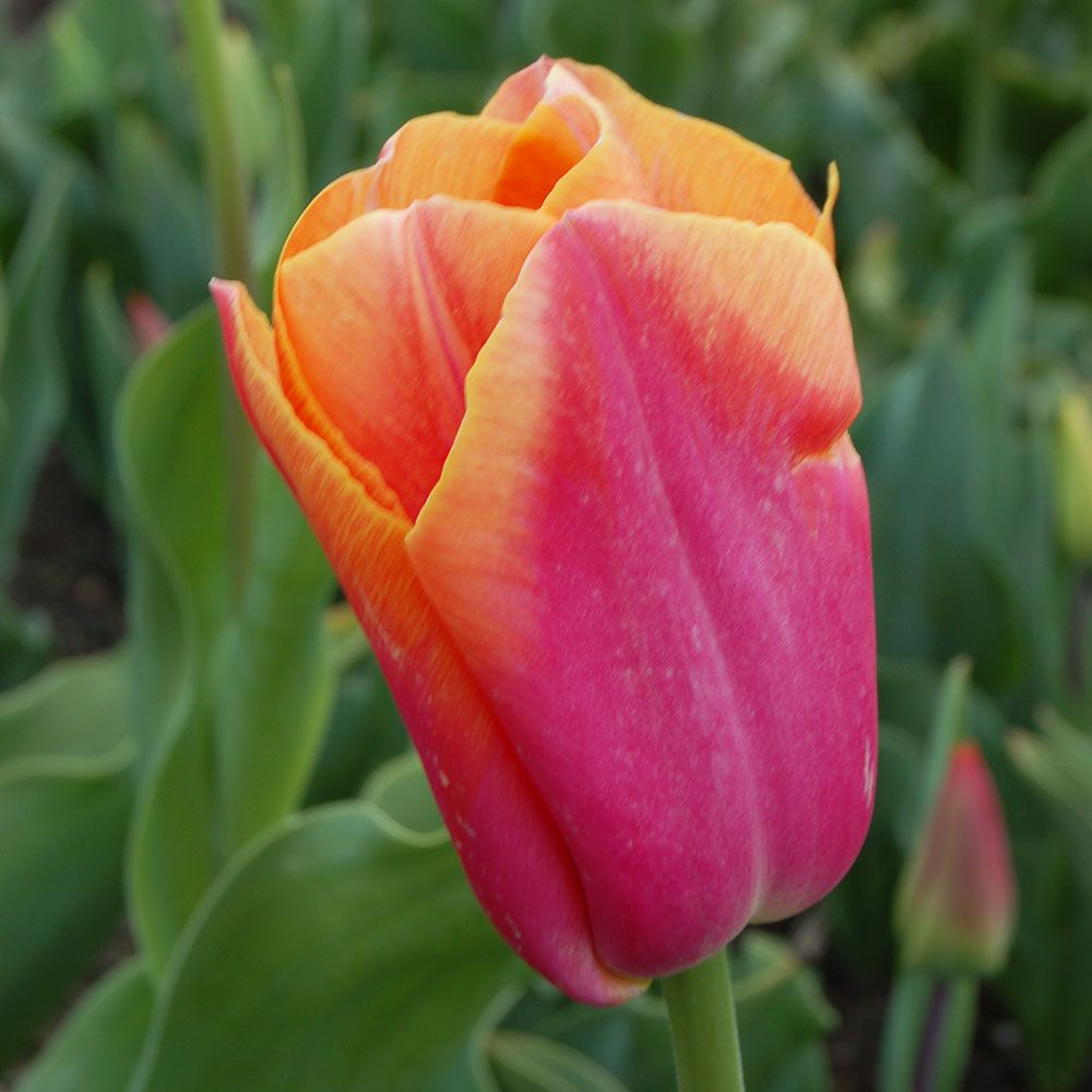 Tulip 'Sweet Dynasty'