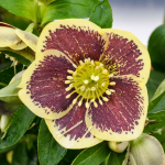 Helleborus Honeymoon® 'Rio Carnival'