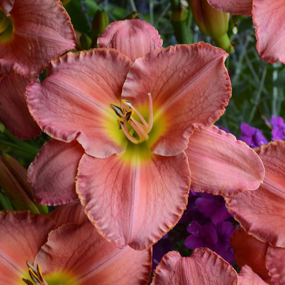 Hemerocallis (Daylily) 'Scottish Fantasy' - Reblooming