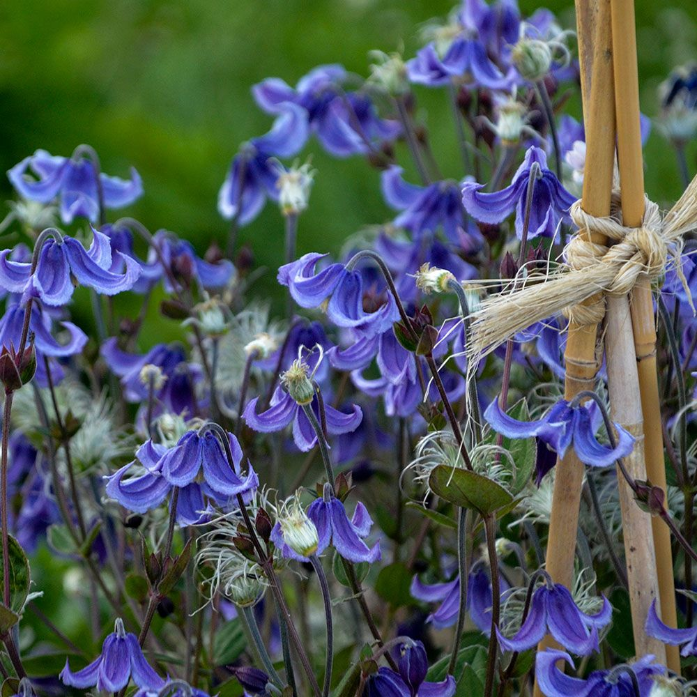 Clematis stand by me white flower farm clematis stand by me mightylinksfo