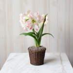 Amaryllis 'Aphrodite,' one bulb in a woven basket