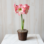 Amaryllis 'Caprice,' one bulb in a woven basket
