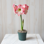 Amaryllis 'Caprice,' one bulb in a nursery pot