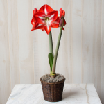Amaryllis 'Stargazer,' one bulb in a woven basket