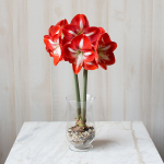 Amaryllis 'Stargazer,' one bulb with hurricane vase kit