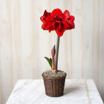 Amaryllis 'Double King,' one bulb in woven basket