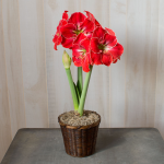 Amaryllis 'Magical Touch,' one bulb in a woven basket