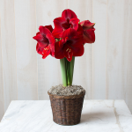 Amaryllis 'Magnum,' one bulb in a woven basket