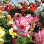 <strong>Saturday, July 7 - 10 a.m.</strong> BIG, Beautiful and Bountiful B&L Begonias