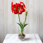 Amaryllis 'Monaco,' one bulb, hurricane vase, and river pebbles