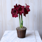 Amaryllis 'Red Pearl,' one bulb in a woven basket