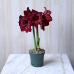 Amaryllis 'Red Pearl,' one bulb in a nursery pot