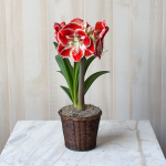 Amaryllis 'Samba,' one bulb in a woven basket