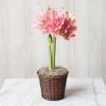 Amaryllis 'Sweet Nymph,' one bulb in a woven basket