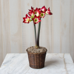 Amaryllis 'Tres Chic,' one bulb in a woven basket