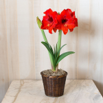 Amaryllis Double Six®