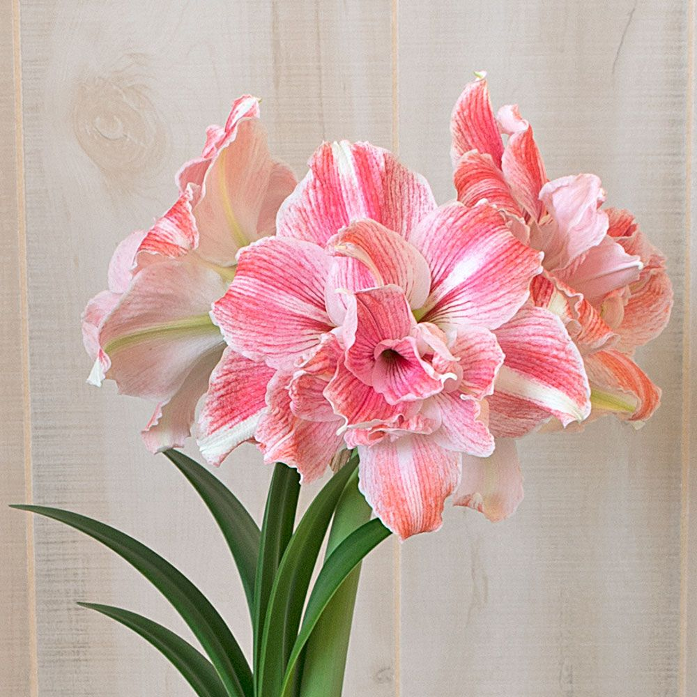Amaryllis First Love®