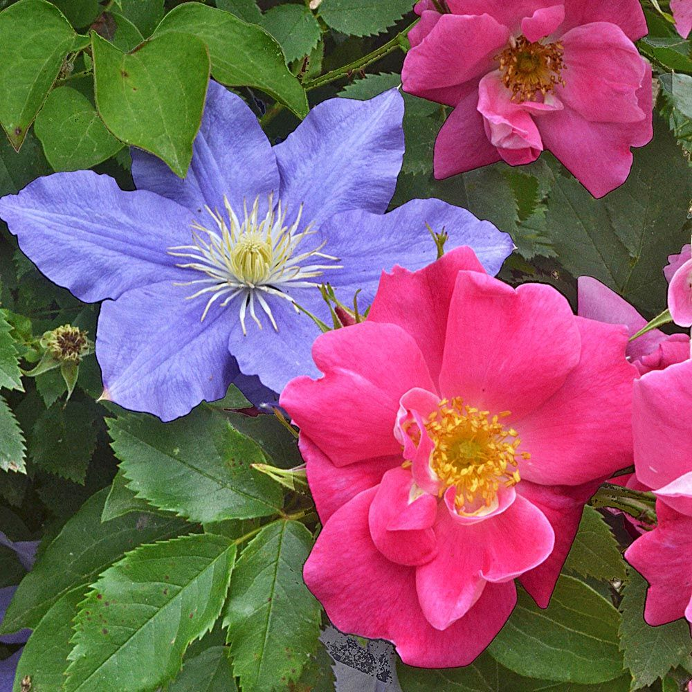 Summer Enchantment Rose & Clematis Duo