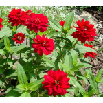 Zinnia Profusion Double Cherry