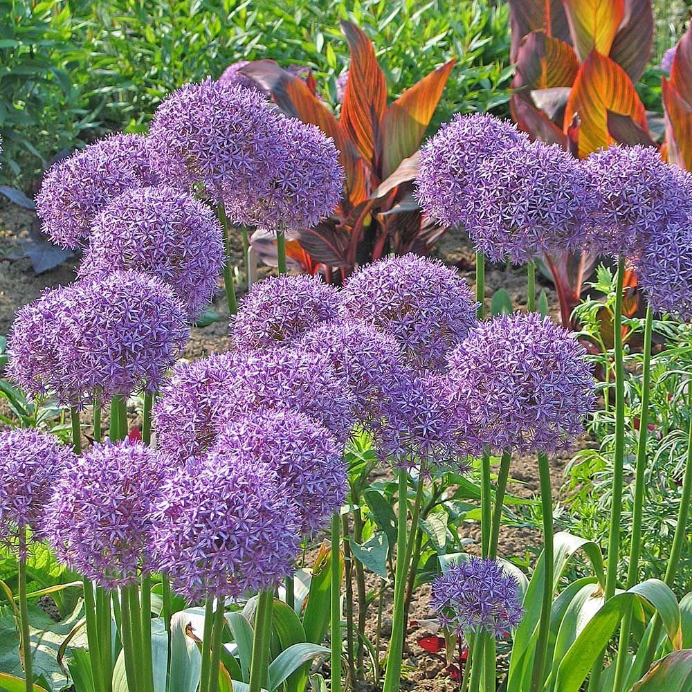 Allium Globemaster White Flower Farm