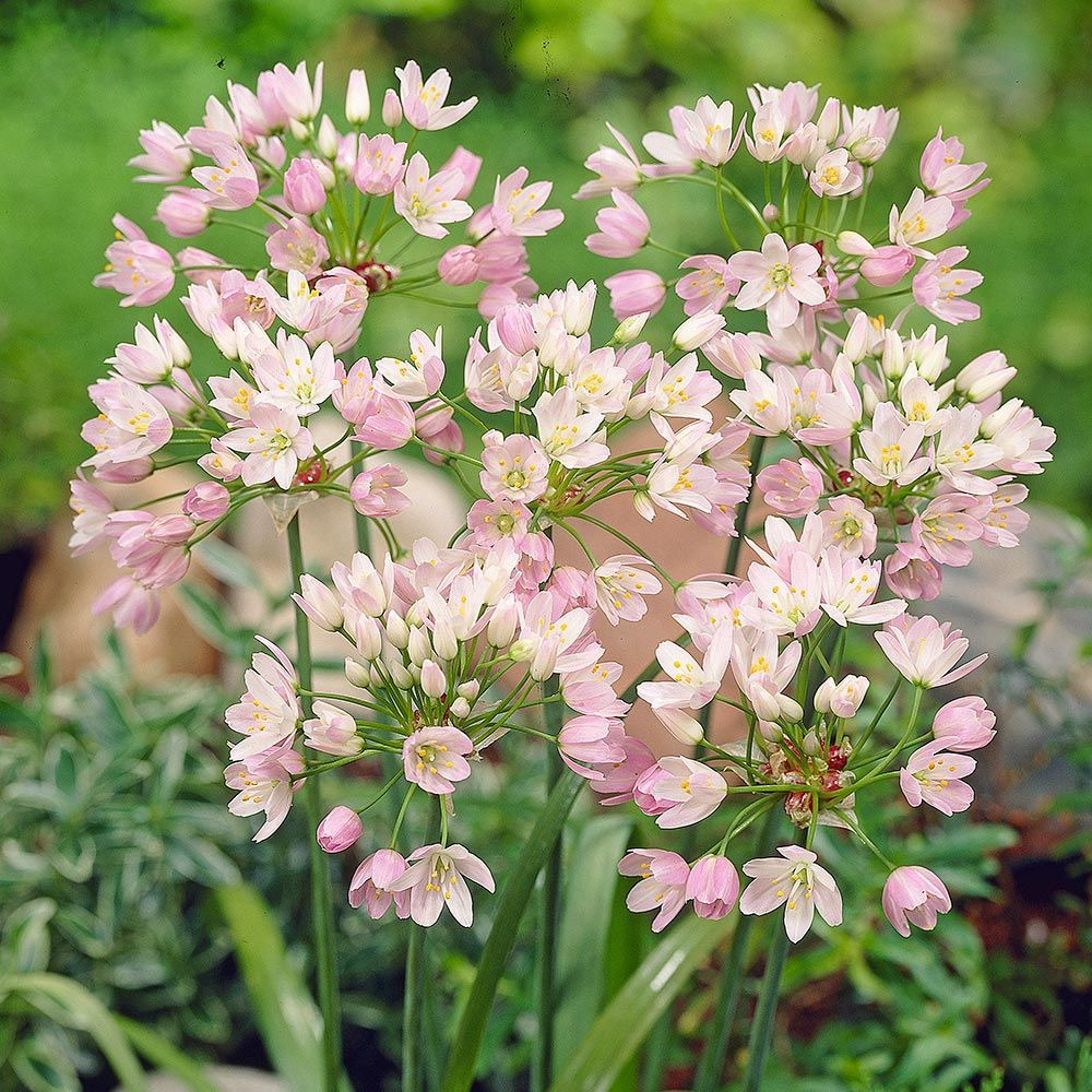 Allium roseum bulbiferum