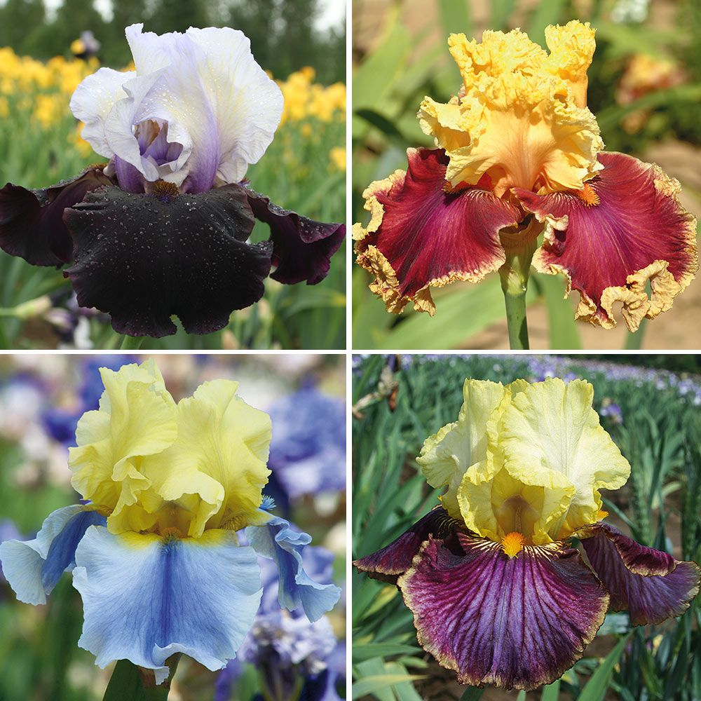 Pride Of The Border Bicolor Iris Collection 4 Plants