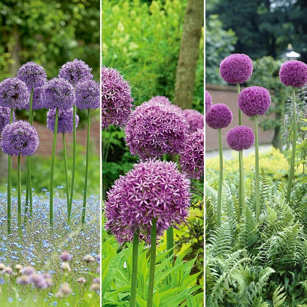 Long-Blooming Allium Trio