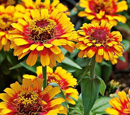 Zinnia Zowie! Yellow Flame
