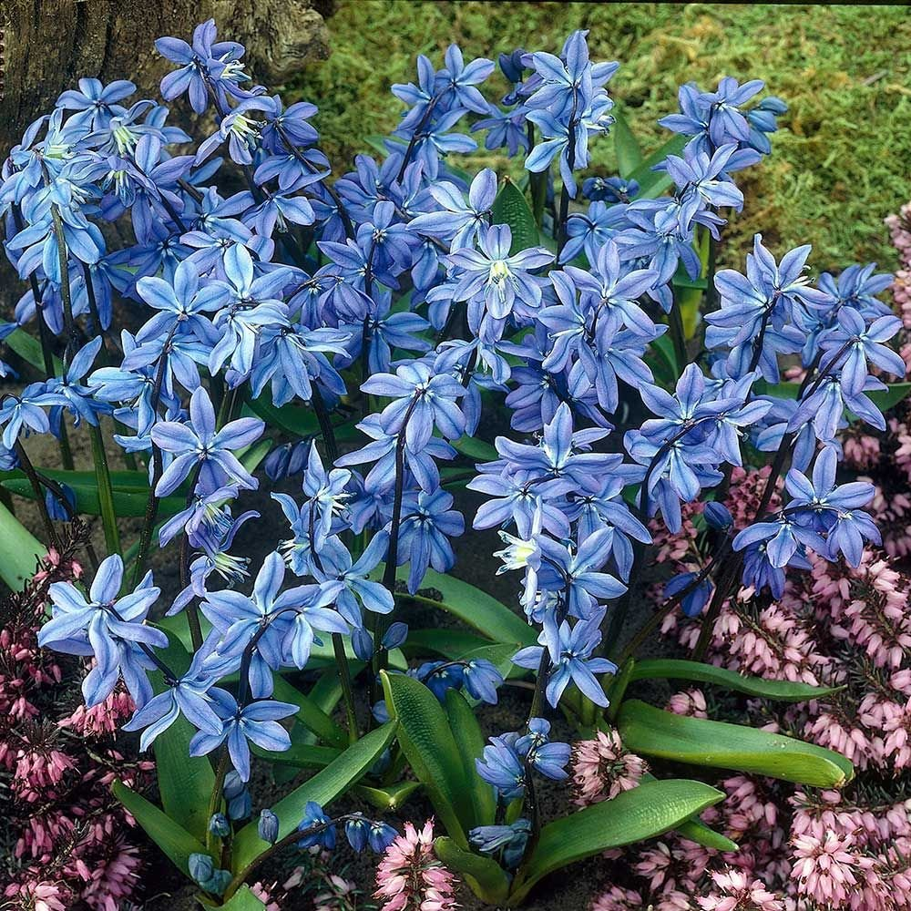 Scilla Siberica Spring Beauty White Flower Farm