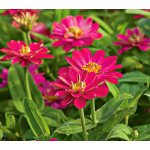 Zinnia Double Zahara® Cherry