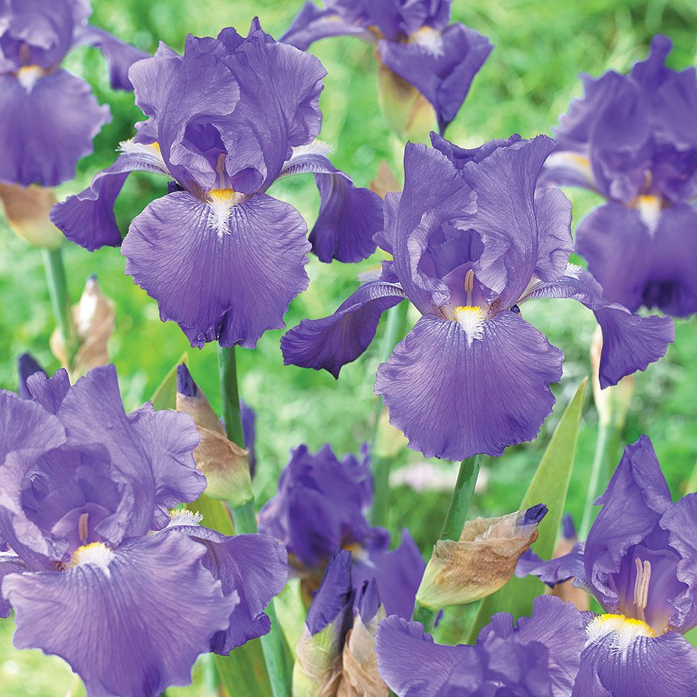 Reblooming Iris Blue Suede Shoes White Flower Farm