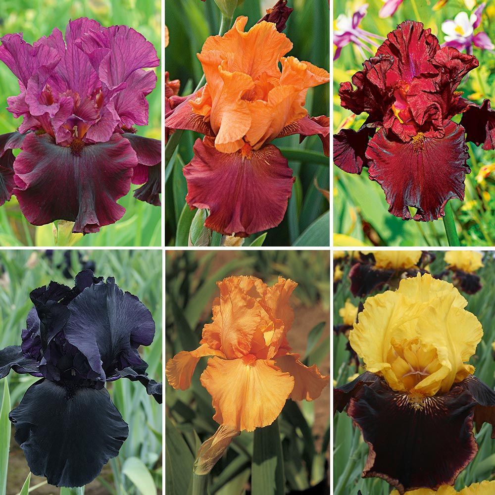 Bold Colors Bearded Iris Collection White Flower Farm