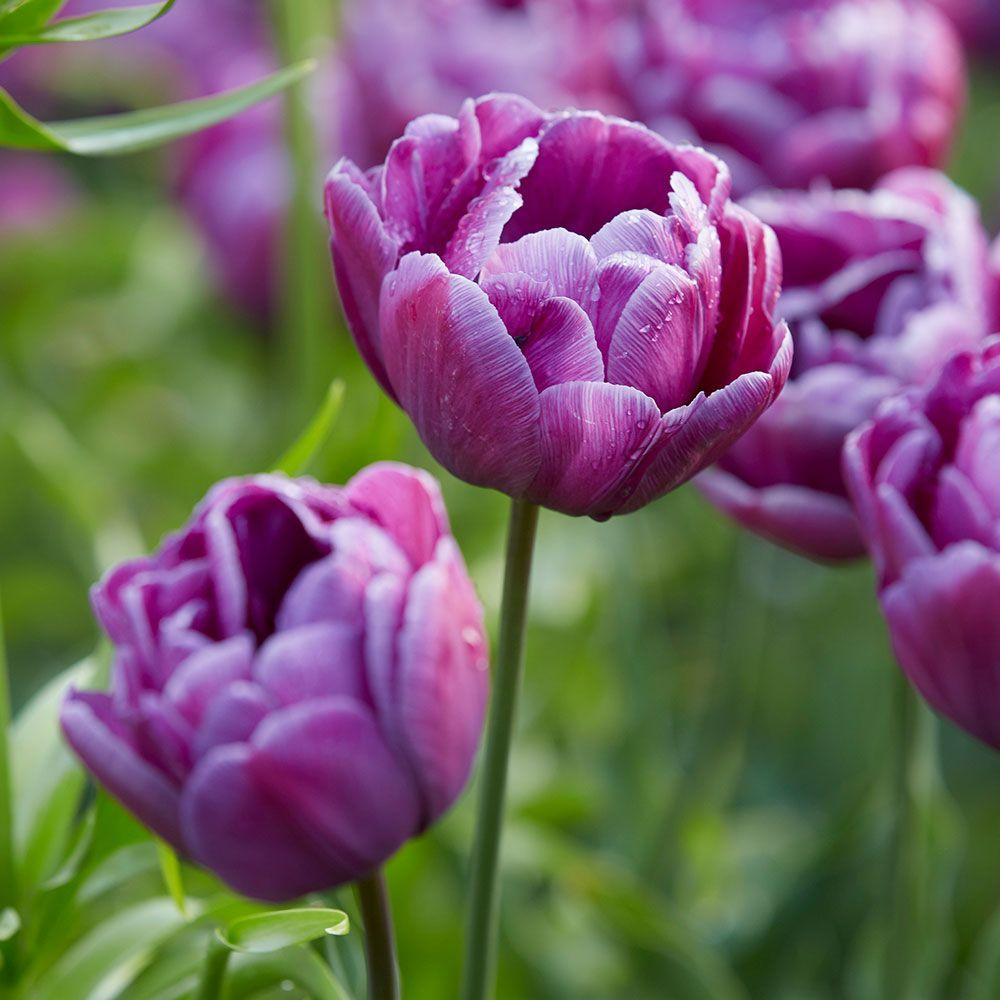 Double-Flowered Tulips