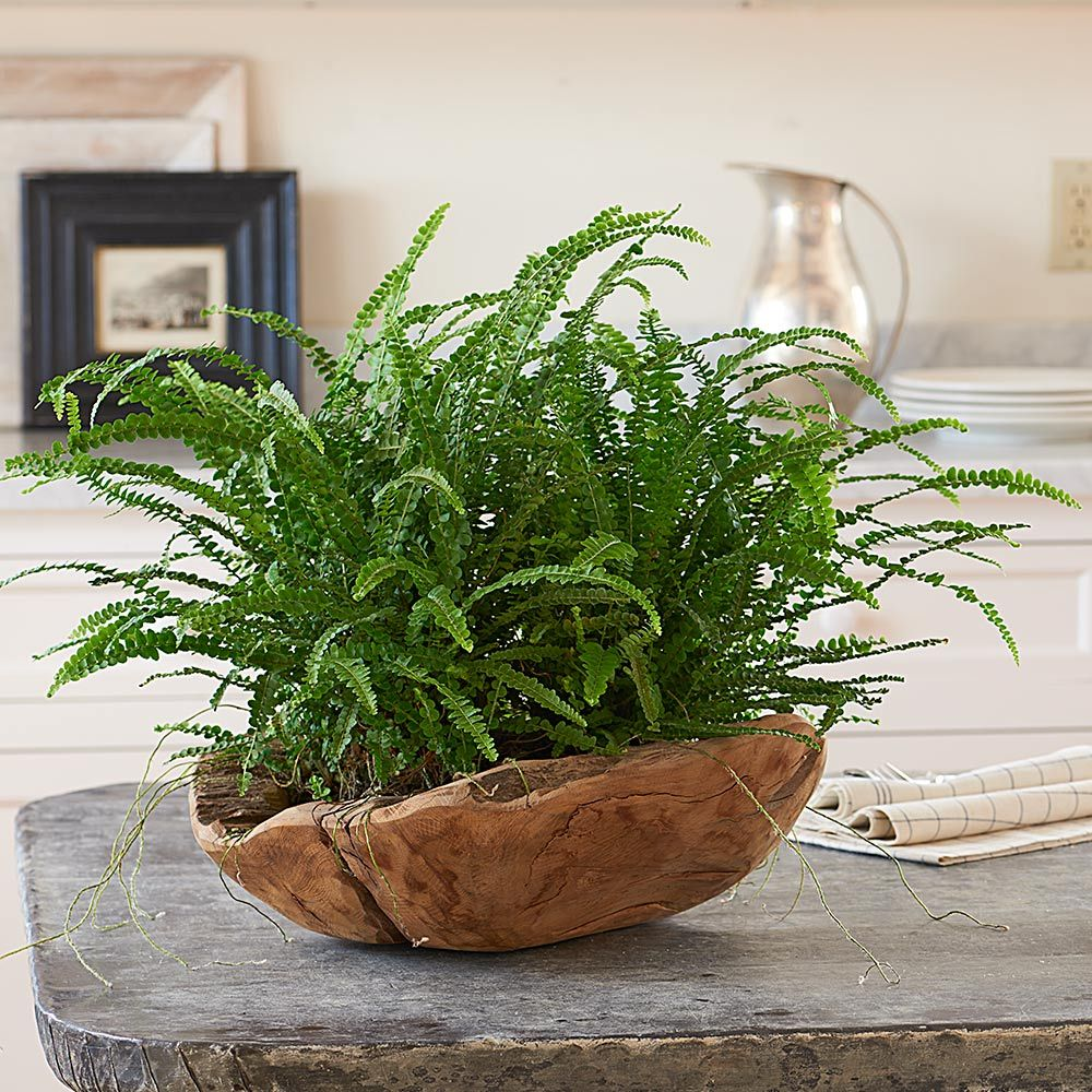 Lemon Button Fern Kit with Teak bowl