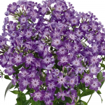 Phlox Early® Purple Eye