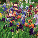 Rainbow of Tall Bearded Iris Collection - 6 plants