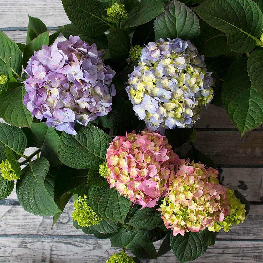 Hydrangea Let's Dance® Blue Jangles® in cream metal cachepot - Grower's Choice