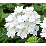 Verbena Lanai® Blush White