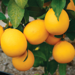 Meyer Improved Lemon with Citrus Fertilizer