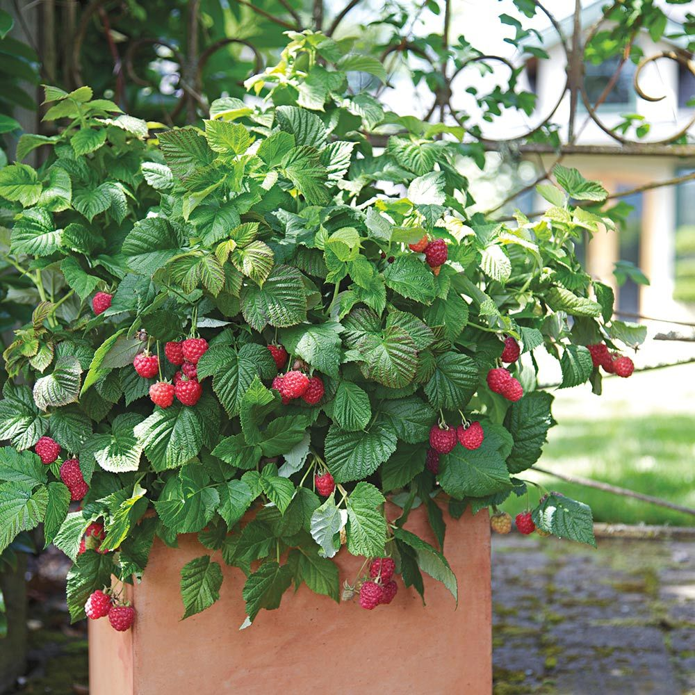 How to plant raspberries in the fall 39