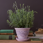 Lavender 'Goodwin Creek Grey' in embossed clay pot