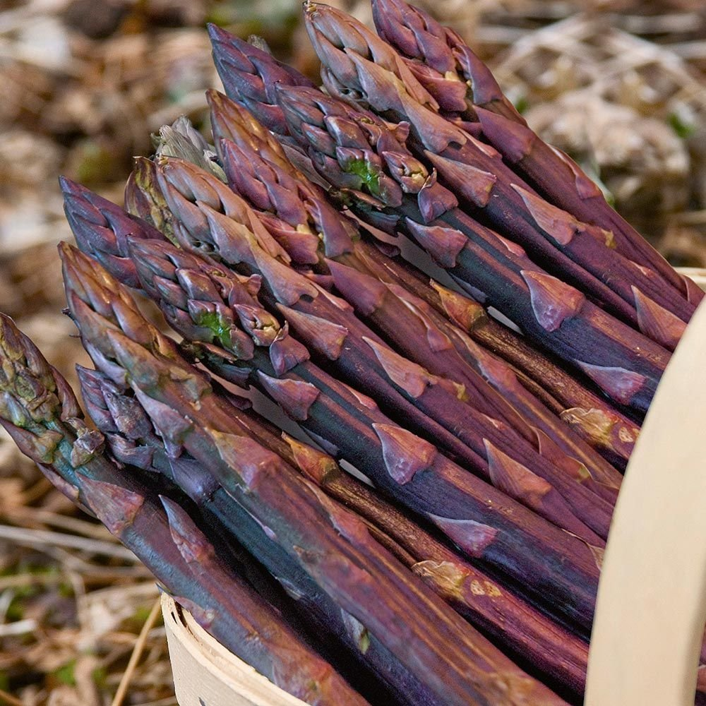 Asparagus Purple Passion, 25 crowns