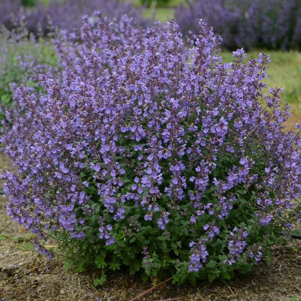Nepeta x faassenii 'Kitten Around'