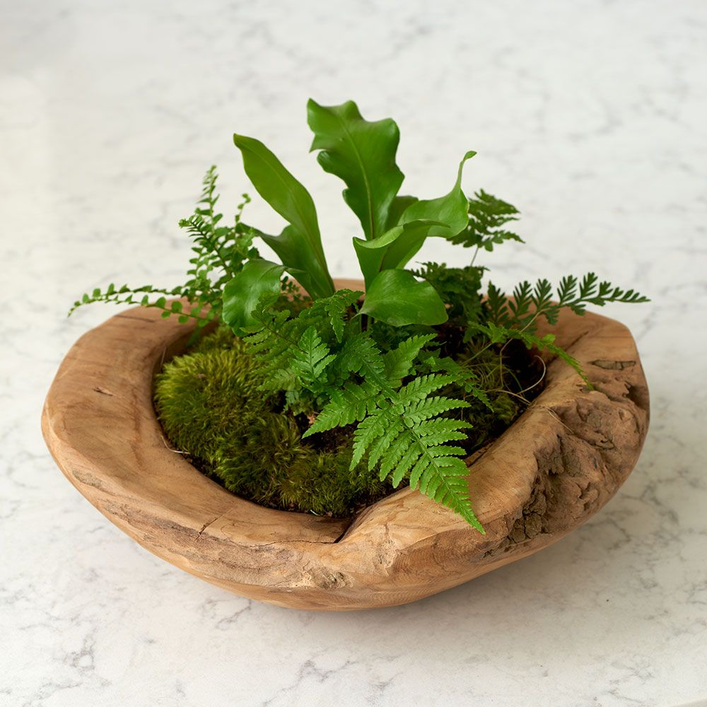 Mini Ferns Kit with Teak bowl