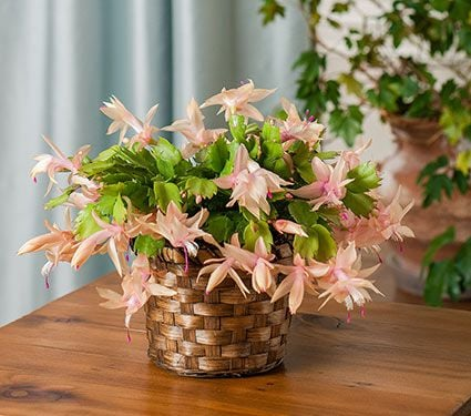 Holiday Cactus Limelight Dancer