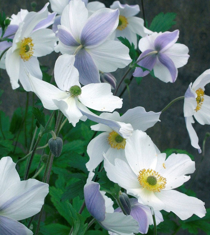 Anemone White Flower Farm
