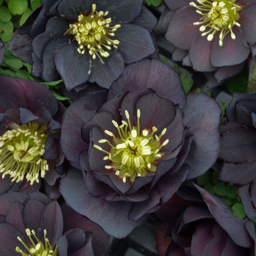Helleborus Christmas Rose Plants White Flower Farm